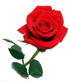 Ruusun Kuva